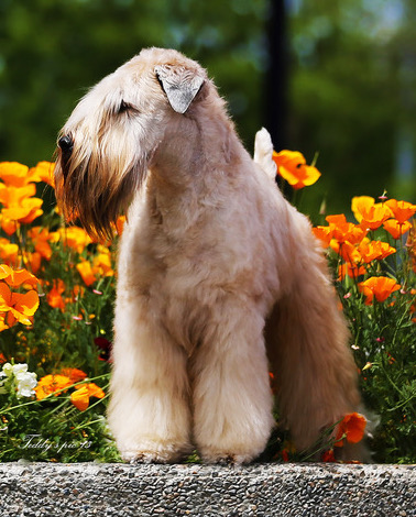 Health Overview Soft Coated Wheaten Terrier Club Of America